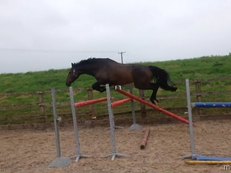 *** reduced ** Beautifully bred 16.2 mare Ramiro z super jump