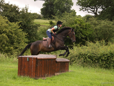 16. 1hh Bay TB Mare 9 Years Old