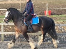 13.2hh Handsome heavyweight Irish 6yo gelding