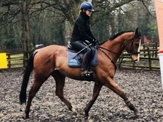 Lovely 15.3hh 4yr old Gelding