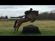 Potential SJ/Event/hunter/Workers 9 year old bay gelding with ver...