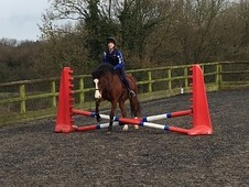 Registered New Forest 13. 2hh gelding