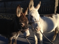 Two Traditional Young Well Handled Donkeys