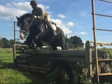 Lovely 15. 2HH 8yr old dark bay/black chunky Mare