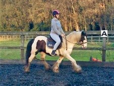 14. 1hh piebald mare-videos available