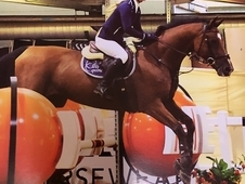 Concreed Blond 16. 1hh Bay Mare For Sale - Excellent Bloodlines