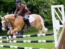 super all round palomino 13'2 gelding