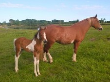 Welsh Cob mare with Partbred Pintabian filly foal at foot