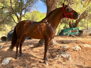 Stunning Liver chesnut PRE Andalusian Stallion 16hh 6yo