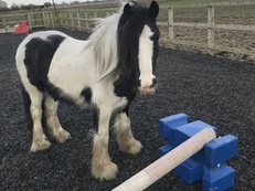 12hh (ish) Coblet  rising 4yro for sale