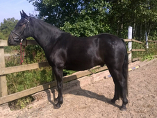 14. 1hh 7yo, recently broken, part bred Welsh gelding by Crackent...