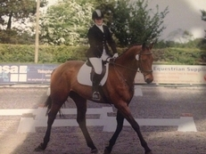 16.3 bay gelding by classic