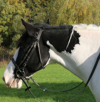 MUST SELL Fred Super Family weight carrying Cob 15hh Piebald rising 7 Gelding