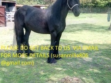 Home Bred Friesian For Sale.