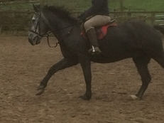 Beautiful 15hh 10 Year old Gelding