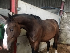 Beautiful 16hh 4 year old with huge potential