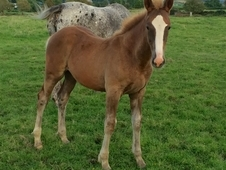 Colt Foal by Dancing Boy