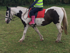 13.3 cob mare for sale