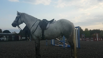 Beautiful 14.2hh Connemara Gelding