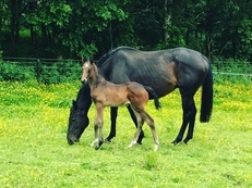 Ex Nicky Henderson, alflora mare, with colt foal at foot and in foal to frankel full brother