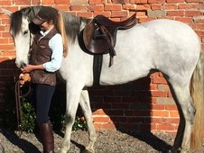 Beautiful Andalusian PRE, Grey Roan 15. 1hh, 9 yr old Mare