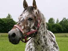 British Appaloosa Society Licensed Stallion
