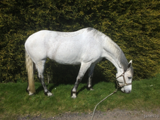 Connemara Mare For Sale