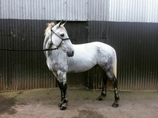 Hunting pony for sale