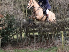 Hunter/Team Chaser 17. 2 ISH 9yr old Gelding