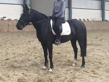 Pretty black mare, showing or dressage prospect