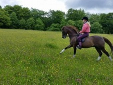 Skellorn Armarni, Welsh section B gelding