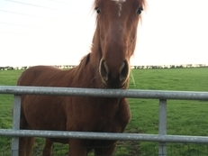 Yearling- Chestnut Gelding by Bazaars Exclusive