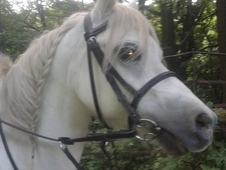 11. 2 Grey Welsh section A pony