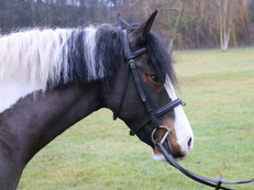 FABULOUS : 14hh Skewbald 9 years Mare with a superb manner