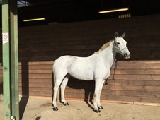 14. 2 hh Connemara for loan Hemel Hempstead