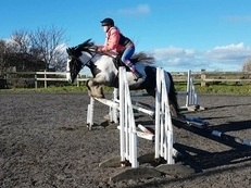 14hh 9 year old cob mare