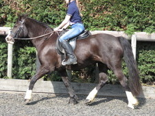 Super hack or lead rein pony