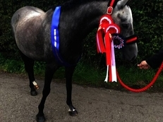 14hh Reg British Riding Pony for Full Loan