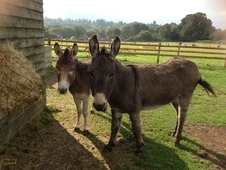 2 gelded Donkeys