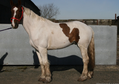 Brown and White Gelding