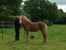Registered pure breed Icelandic Horse. 3yrs old. Mare to make 13'...