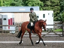 15. 2hh Irish Sport horse, 17year old bay mare