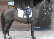 Allrounder Gelding, South West