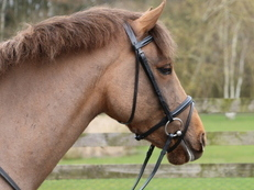 Amazing Mare 13.2hh 5 years old