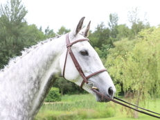 Handsome Gentleman Irish Sports 16.1hh 11 yrs Grey Gelding