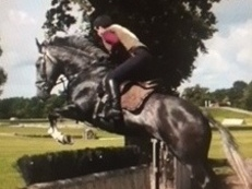 Super well bred Handsome 7yrs Irish Sports Gelding 16hh