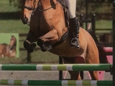 15.3H Bay Mare Show Jumper