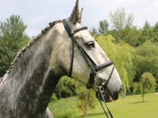 GENTLE GIANT 8YR 17HH GREY GELDING