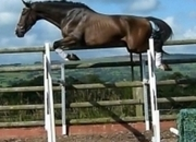 *NEW Video added * ZANGERSHEIDE 5yr Old Superb Event/Showjumping prospect