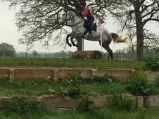16. 3hh ID/TB 8 yr old mare